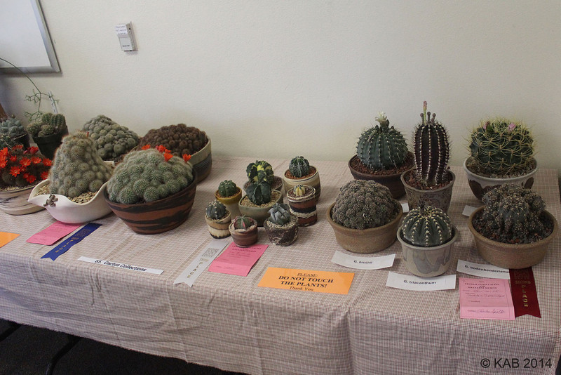 """Classes 65 and 66 are for collections of 4 or more individually potted plants with a common factor.  It will always be very popular because """"Collectors have collections""""!  Here is part of Class 65 for Cacti"""