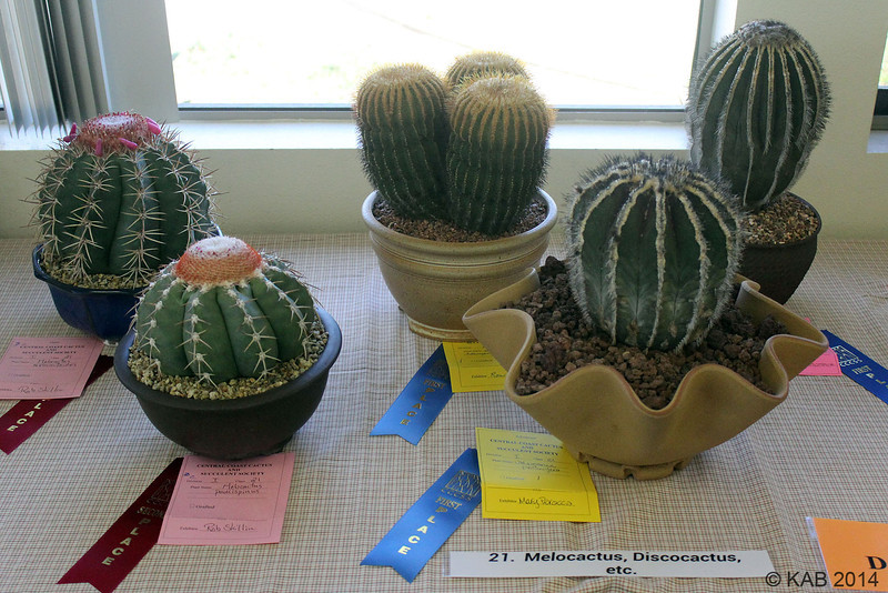 Moving to to lower lattitudes brings us to Class 21 for Melocactus, Discocactus, Uebelmannia etc.