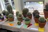 Classes 5 -  Astrophytum & 6 - Ferocactus, Echinofossulocactus