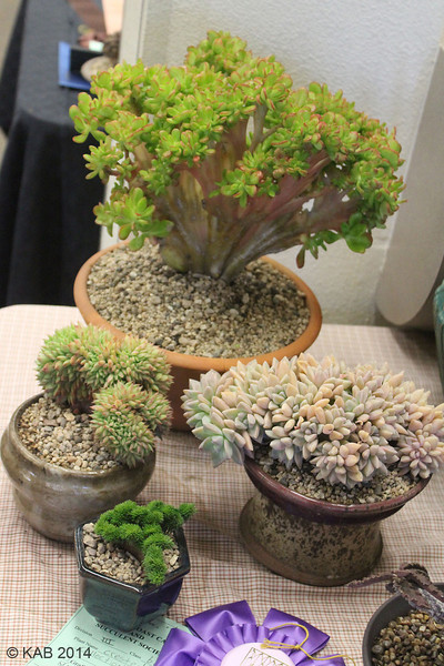 A last succulent collection - All crested plants in this group.<br /> We had 17 total entries as Collections - totaling 92 individual plants.  A lot of effort is required to get, grow, prepare and bring each collection to the show.