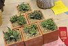 Collections contine in class 66 - for Succulents.  Here a group of Faucaria