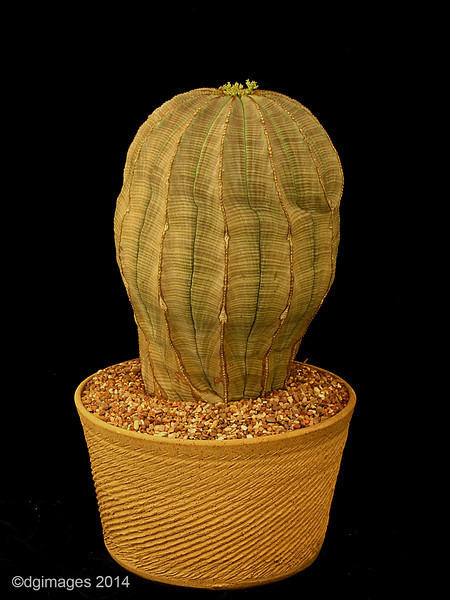 """Open Class, Best Succulent - Euphorbia obesa from Nick Wilkinson.<br /> This speciman is in an 8"""" pot.  A common plant but not this size or condition."""