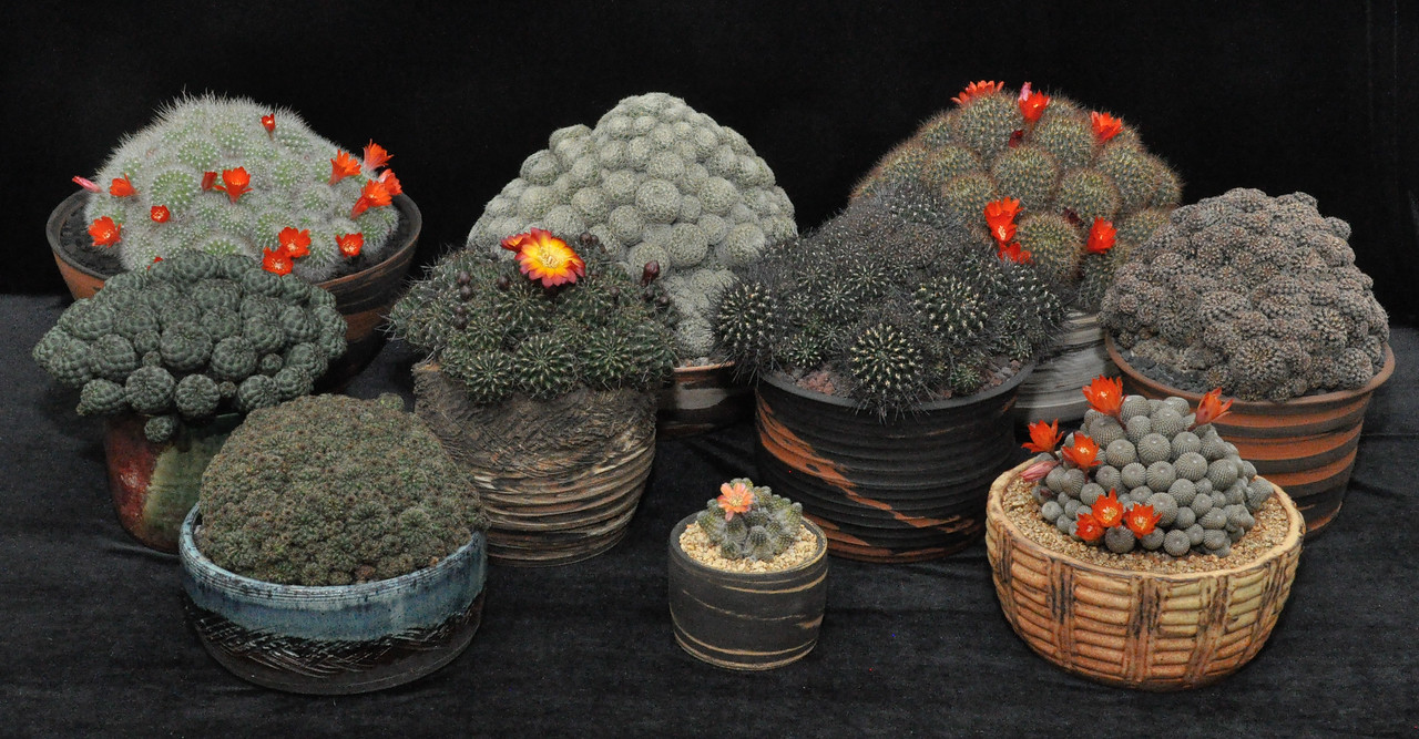 "Best Collection,  Rebutia - For lovers of early spring flower power, nothing beats the small clump forming members of this group. A nice grown assembly from ""Snake"", San Luis Obispo, CA"