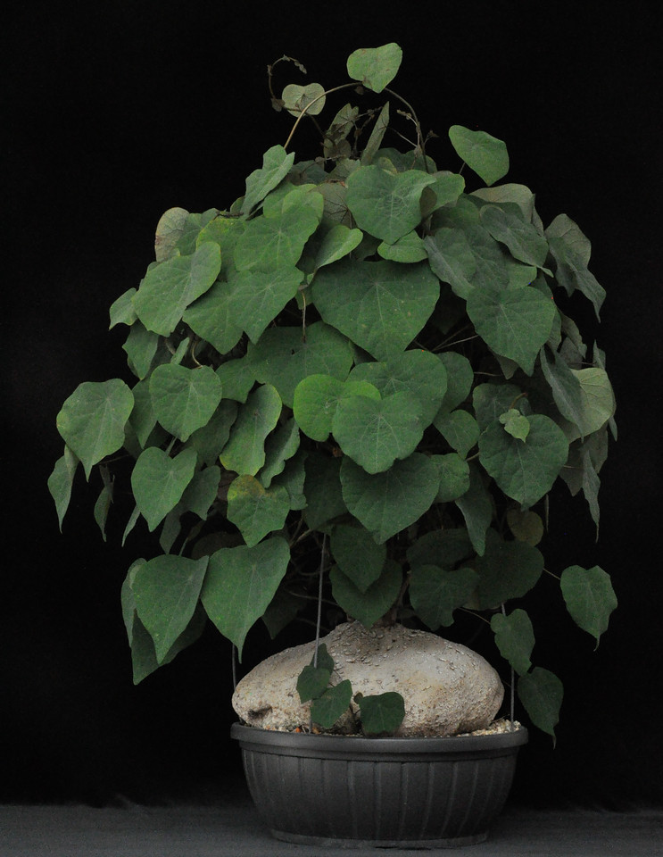 Best Caudiciform plant, Stephaia venosa - a tropical vine from S.E.Asia & Malaysia forms large tuberous roots. It can be exhibited as an ornamental but is commonly used in traditional Chinese medicine.  Not sure which ultimate use Rob Skillin has in mind  but either way, it's a wonderful presentation.