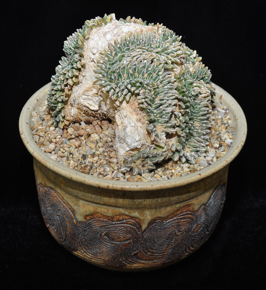 "Best Crested Entry, Ariocarpus kotschoubeyannus - this unique specimen defines both ""cristate"" and ""slow growing"" Plan on may years to get one like this on from Rob Skillin, Arroyo Grande, CA"