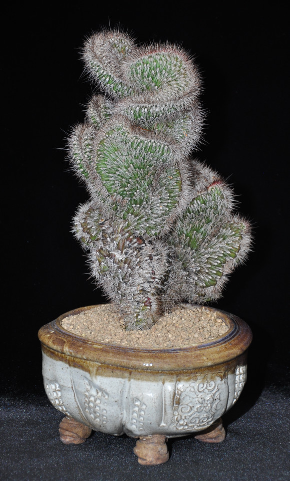Novice Class Best Cactus, Stenocereus hollianus - a cristate form nicely presented by Linda Drake, San Luis Obispo, CA
