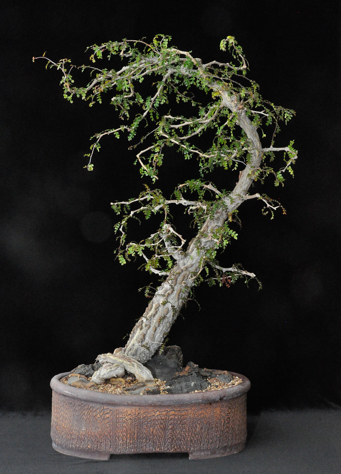 Best Staged Plant - Open Class, Operculicarya decaryi - the favorite of succulent bonsai fans, grows quickly from cuttings and is easily trained in a variety of styles.  from Nick Wilkinson, Cambria, CA