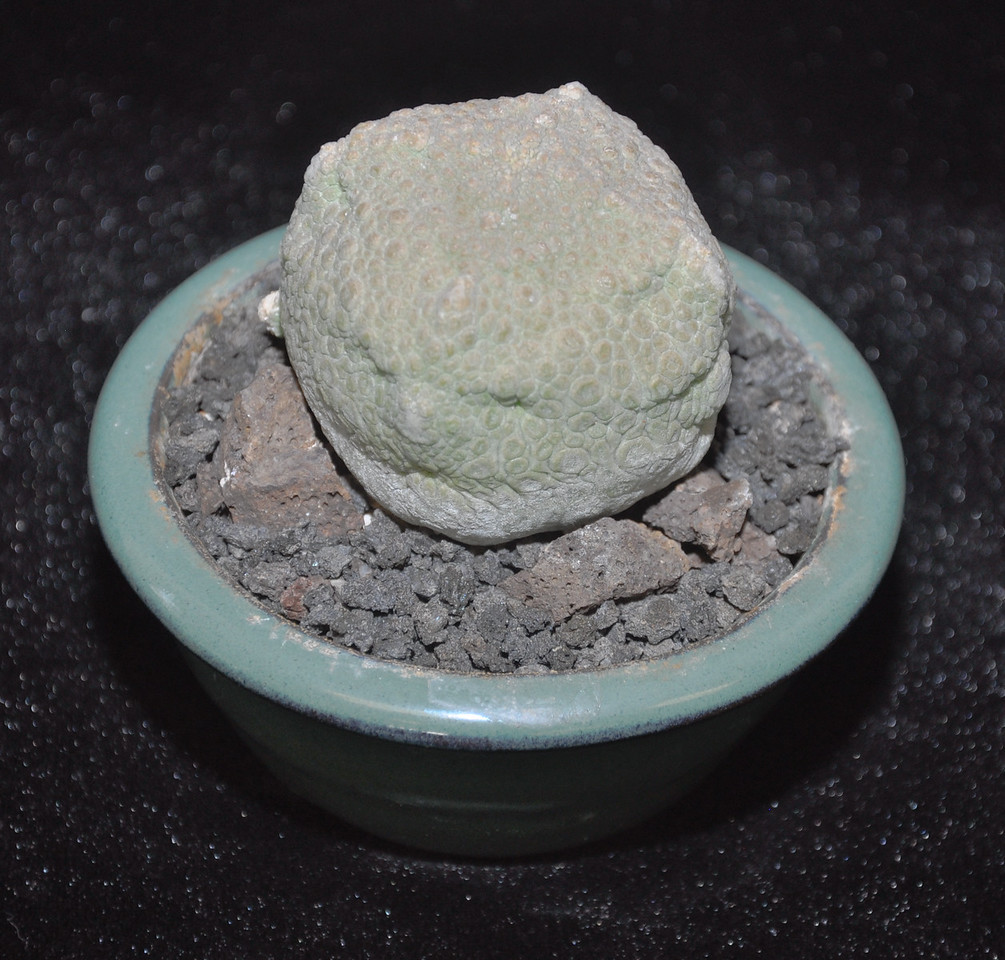 "Best Miniature, 3"" pot or less - Pseudolithos cubiformis - A Somalian member of the stapeliae. The name means ""false stone"" + ""cube shaped"" It's restrictive cultural needs will keep it rare in collections.  A full grown, mature specimen from David Westberg, San Luis Obispo, CA"