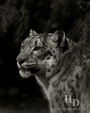 Snow leopard in the Woodland Park Zoo.