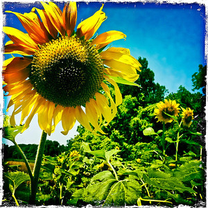 Sunflowers - Arts Group of Union Ave Christian Church (Union Opera) at 733 Union Blvd from Jul 1 to Sept 1, 2012