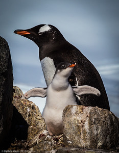 """Look Mom, I'm Flying!""  (Gentoo Penguins in Antarctica)""  UMSL Gallery 210,  ""Far and Away""  from June 20 through Aug 8, 2015 with the Sharp Shooters Photography Collective - my interpretation of the theme is 'Antarctica' from my trip in January earlier this year. * June 20 , 5 pm-7 pm: Artists' Reception.  GALLERY 210 UNIVERSITY OF MISSOURI –ST. LOUIS, 44 Grobman Drive 
