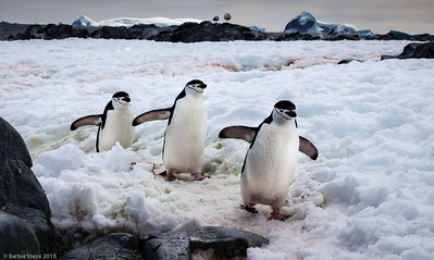 """Follow the Leader""  (Chinstrap Penguins in Antarctica)  UMSL Gallery 210,  ""Far and Away""  from June 20 through Aug 8, 2015 with the Sharp Shooters Photography Collective. * June 20 , 5 pm-7 pm: Artists' Reception.  GALLERY 210 UNIVERSITY OF MISSOURI –ST. LOUIS, 44 Grobman Drive 