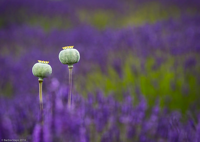 Bewitched by Lavender