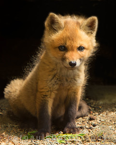 L'il Red Fox