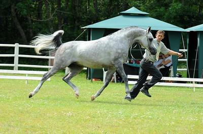 Stallions 4-6 years