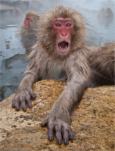 """""""Surprise"""" - Snow Monkey in Japan -  Semi-finalist in the 2011 Nature's Best Photography Windland Smith Rice International Awards - I was selected as one of 500 images out of more than 21,000 images.submitted."""