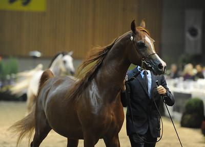 Stallions 4-5 years