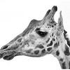 Giraffe (San Diego Zoo Safari Park)