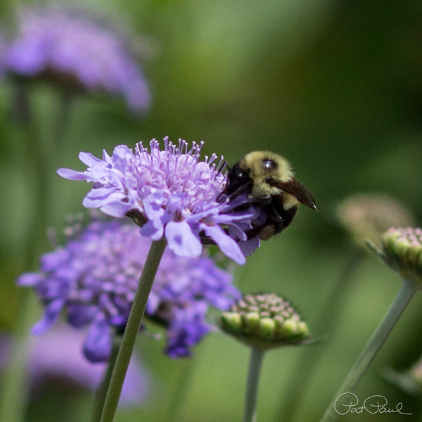 Bee on Pincushion Flower
