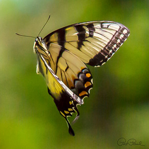 Swallowtail in Flight