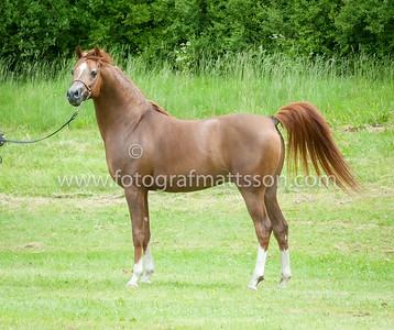 Stallions 7-10 yrs