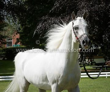 Stallions 7-10 yrs (the only Senior stallion class)