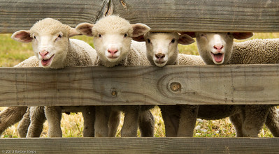 """ Baaah !  The Lambs"" in Show ""New Zealand Adventures""  at Chesterfield Arts -  Show will run May 24 - June 7, 2013"