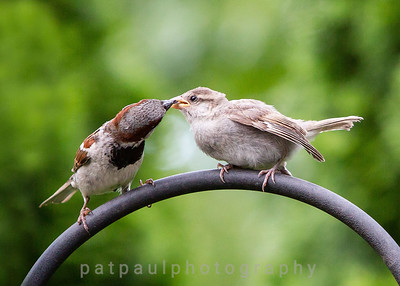 Courtship Behavior: A Male Sparrow Feeding a Female Sparrow