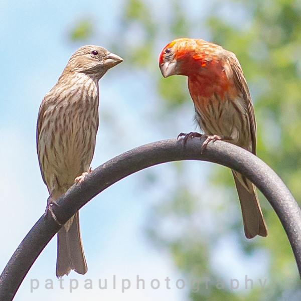 Female and Male House Finches