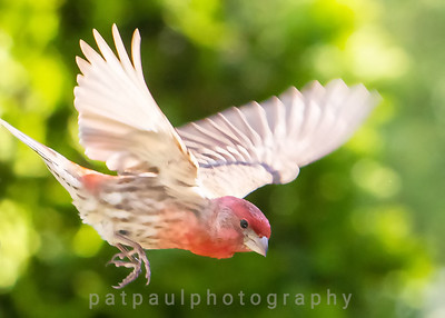 Male House Finch in Flight