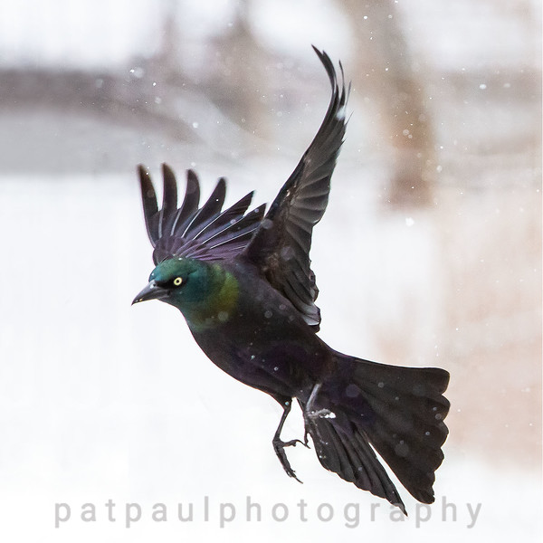 Common Grackle in Flight
