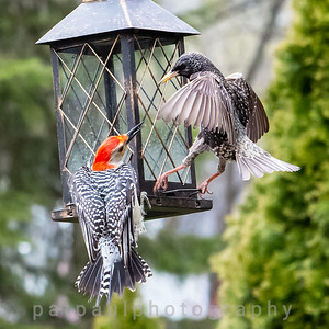 Feeder Fight Between a Starling (right) and a Red-bellied Woodpecker