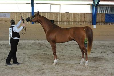 Stallions 4-7 yrs