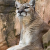 Cougar (Turtleback Zoo)