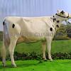 Agriscot Heifer champ