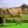 Agriscot Heifer res