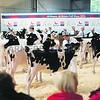 All Breeds All Britain Calf Show 2013, Stoneleigh Park,Warwickshire<br /> Picture Tim Scrivener 07850 303986