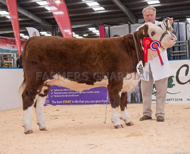 The Hereford champion, heifer Frenchstone P. 1 Capri from L. R. and A. M. Ayre of Queensnympton, South Molton.