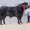 The Aberdeen Angus male champion, Gretnahouse Lord Hefty from Alasdair G. Houston of Gretna, Dumfriesshire.