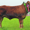 Anglesey Beef Champ 7004