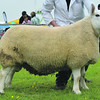 Anglesey Sheep Champ 7120