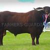 Reserve inter-breed champion Saler bull Etna from Mr Alun Jones, Glan-Y-Mor, Gwynedd.