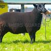 Hill breed champion a Welsh Black Mountain ewe from Gwanr Hughes, Brynchroys.
