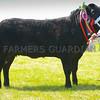 Commercial Beef champion Black Beauty from Mr Tecwyn Jones.