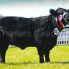 Welsh Black champion Heifer Perthi Non from Mr M.W. Jones.