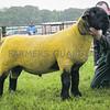 Angus Show 14.  Suffolk Sheep Champion a ram from James Scott, Ingliston, Forfar.