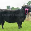 "Angus Show 14.  Highland Cattle Champion ""Monica 8th of Thaggnam"" from A&A Garton, Glen Prosen."