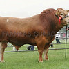 Angus Show 17 Limousin and Cattle Interbreed champion from A&J Gammie, Drumforber, Laurencekirk