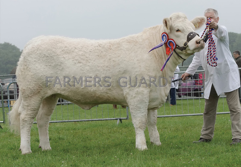 Angus Show 17 Charolais Champion from D J Muirhead.<br /> Firhills, Arbroath