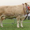 Angus Show 17 Simmental Champion from G&M Smith, Drumsleed, Fordoun.